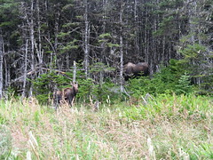 Moose on the Skerwink Trail