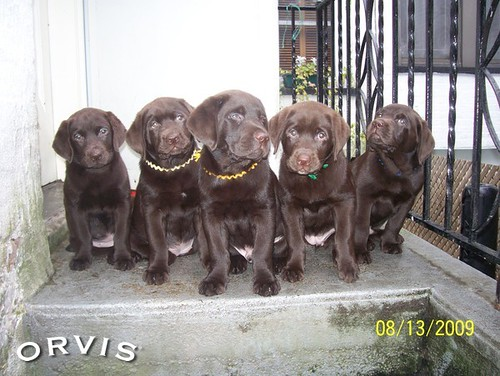 Orvis Cover Dog Contest - The Nethermead Puppies of Brooklyn