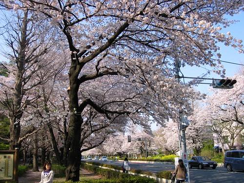 一橋大学正門前の桜 2009年4月6日 by Poran111