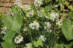 "Garlic Chives in Flower <a style=""margin-left:10px; font-size:0.8em;"" href=""http://www.flickr.com/photos/91915217@N00/4994634579/"" target=""_blank"">@flickr</a>"