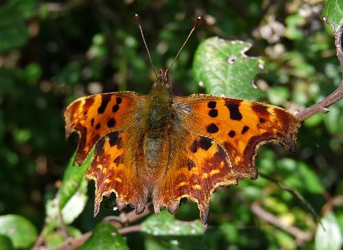 22427 - Comma Butterfly