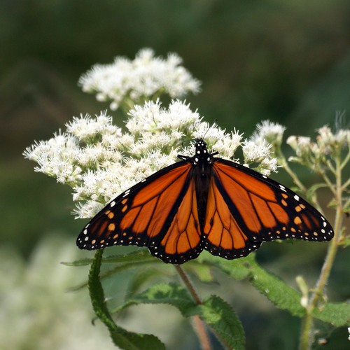 Monarch Butterfly from Cape May