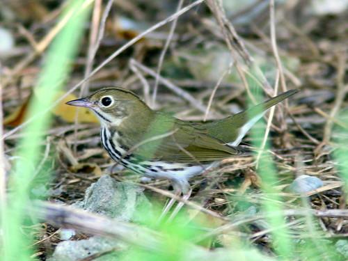 Ovenbird 2-20100916