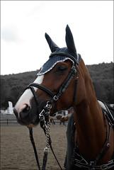 Gucci Queen (L *) Tags: show portrait horse animals jump jumping nikon gucci salto cavallo horseriding d60 ostacoli nikond60italia ahowjumping
