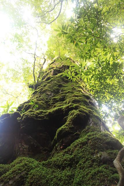 白谷雲水峡の奉行杉 in Yakushima