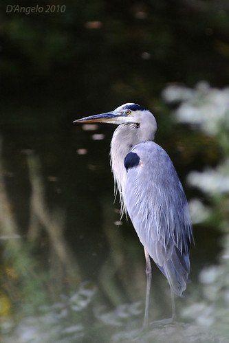 Great Blue at last