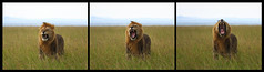 Unhappy lion (jensvins) Tags: africa wild kenya wildlife lion hunter predator roar unhappy masaimara displeased
