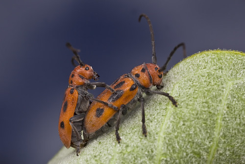 beautiful long-horned beetle mating