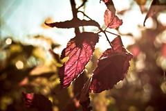 Is my bokeh too late? (Jaime973) Tags: bokeh leaves fall sunshine applefarm hbw bokehwednesday canon raw 50mm