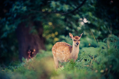 moonlight (andrew evans.) Tags: morning trees summer england nature fairytale forest sunrise countryside kent woods nikon bokeh wildlife deer ethereal wonderland storybook magical 70200 f28 enchanted d3 highqualityanimals