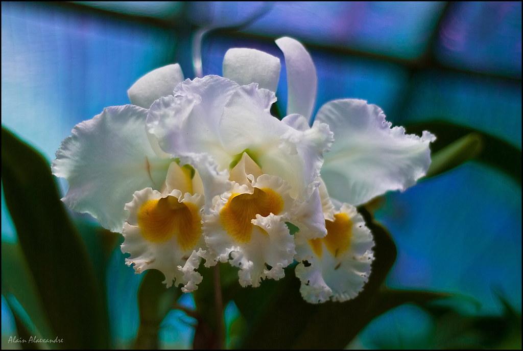 Orchidée Chiang Rai