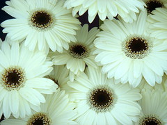 Gerberas (tinica50) Tags: flowers nature gerbera citrit solofotos
