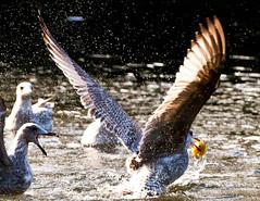 Splash and grab (Steve-h) Tags: park ireland dublin seagulls nature birds fight pond europa europe wildlife gulls eu battle mayhem act ion steveh canoneos5dmarkii canonef70200mmf28lisiiusm