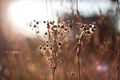 Because weeds need a little lovin' too! (Jaime973) Tags: sunshine canon 50mm weeds raw bokeh monthlyscavengerhunt flare friday msh xeric msh0910 flickrflare msh091011
