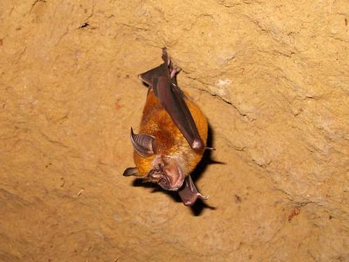 Cu Chi Underground Tunnels - Bat