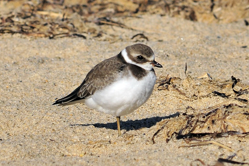 vested semipalmated plover