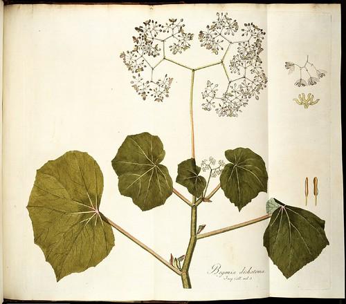 Begonia dichotoma