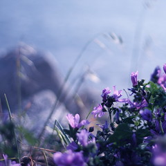 A little corner by the sea (Dada Mar) Tags: flowers sea purple stones