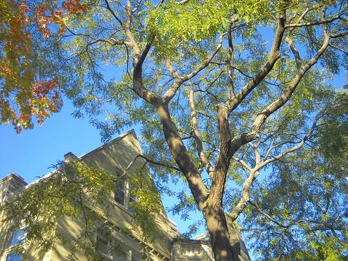 Neighborhood Trees - Honey Locust