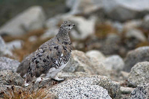 Tpretty Ptarmigan
