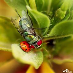In Love ♥ Fly & Ladybird (Explored) (ZiZLoSs) Tags: macro love canon eos fly ladybird usm f28 aziz ♥ in ef100mmf28macrousm abdulaziz عبدالعزيز ef100mm 450d zizloss المنيع canoneos450d 3aziz almanie abdulazizalmanie httpzizlosscom
