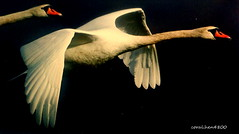 white swans (coral.hen4800) Tags: red sky white bird birds river fly flying swan ngc young swans rivers ponds muteswan supershot