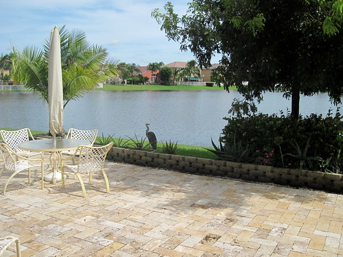 Great Blue Heron on patio 20100930
