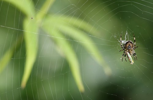 Garden Spider with Rhododendron Leafhopper