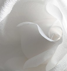 white rose (vernon.hyde) Tags: macro rose closeup petal whiterose rosepetal whitepetal