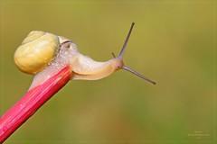 PUNTO DI DOMANDA (Siprico - Silvano) Tags: canon snail natura macros lumaca chiocciola potofgold macrofotografia cernuscosulnaviglio macrofografia buzznbugz siprico fotografianaturalistica soloreflex 100commentgroup pricoco silvanopricoco wwwpricocoorg httpwwwpricocoorg wwwfotografiamacrocom
