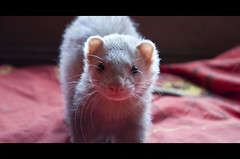 Evil Stich (VictorH.) Tags: pet ferret bed facetoface stich colorbleed