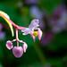 #267 - Fladibulus rosae odrinaris