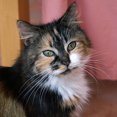 Cally (hehaden) Tags: rescue white animal cat square kitty tortie rspca longhaired bestofcats kittyschoice catmoments