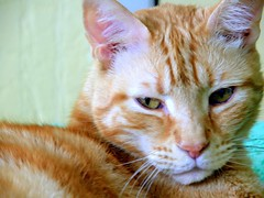 Squeegee (Chris C. Crowley) Tags: orange animal cat feline tabby kitty whiskers ambereyes squeegee mypet gingercats orangecats animaleyes myfavoritepet oreengenesses chriscrowley celticsong22 tiggerthegatekeepersgardenclubhouse catsuluv