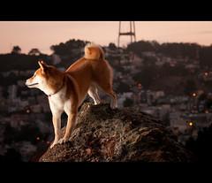 Night Crawler - 40/52 (kaoni701) Tags: sf sanfrancisco city portrait urban dog mountain cute rock night project climb nikon hike suki shibainu f4 coronaheights cls week40 shibaken  vrii strobist sb900 d300s 52weeksfordogs 24120f4 24120mmf4gvr