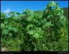 Ricinus communis Plant in Dhalkout, Dhofar (Shanfari.net) Tags: plants plant tree nature fruits fruit lumix flora raw natural panasonic oman fz communis zufar rw2 euphorbiaceae salalah sultanate sarb dhofar عمان magnoliophyta magnoliopsida khareef ricinuscommunis ricinus طبيعة سلطنة خريف صلالة malpighiales dufar صلاله acalyphoideae acalypheae ظفار الخريف محافظة موسم ricininae dhufar governorate dofar fz38 خروع fz35 dmcfz35 الصرب الخروع صرب صربية