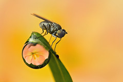 """DEWDROP REFRACTION  with fly  #70 (GOLDENORFE) Tags: macro insect fly waterdrop dewdroprefraction macrolife ahqmacro """"doublefantasy"""" onlythebestofnature"""