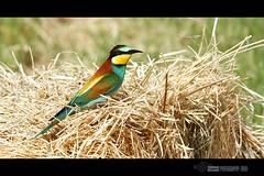 European Bee-eater (Merops apiaster) (suhaaz Kechery) Tags: bird european birding bee birdwatching qatar eater meropsapiaster europeanbeeeater merops apiaster canon450d kechery suhaaz mekaines sigma150500dgapoos weekendphotoshoottrip alarkhiya