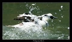 Splash! (Grievous247) Tags: water birds duck wildlife waterbirds naturelovers a700 sonya700 slbbathing sal70400g