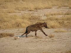Spotted Hyena, Etosha
