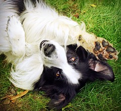 Wave 'N' Roll! (meg price) Tags: dog pet wave tricks hamster bordercollie barney rollover syrianhamster mywinners