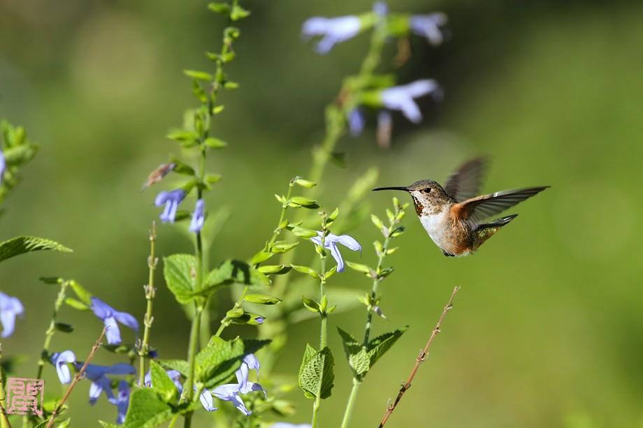 Allen's Hummingbird 09101-2