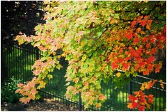 Autumn - My favorite tree (blmiers2) Tags: autumn red orange usa newyork tree green fall nature colors yellow fence nikon colorful fallcolors boom autumncolors fallfoliage explore rbol  albero arbre rvore baum picnik  autumntrees hff arboreal    101010 d40x cmwd cmwdorange picturefall fencefriday october102010 blm18 blmiers2