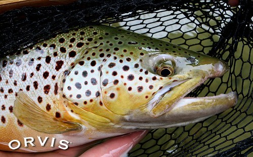 Orvis fish pic of the week orvis news for Orvis fly fishing podcast