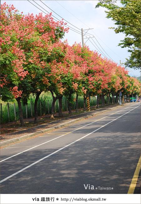 【台中】台灣秋天最美的街道!台中大坑發現美麗的台灣欒樹3