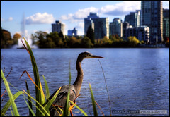 Blue Heron (Clayton Perry Photoworks) Tags: blue autumn bird heron skyline vancouver stanleypark hdr lostlagoon