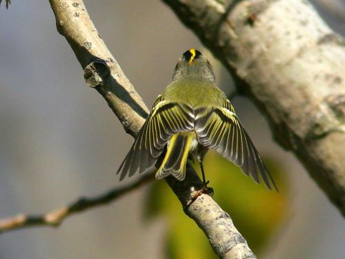 Kinglet Fluttering 20100115