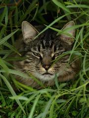 "Tiger ""Jungle Boy"" (joecrowaz) Tags: city wild arizona cats pets color nature phoenix animals tiger olympus 300mm zuiko e510 blueribbonwinner supershot bej rawdevelopment bestofcats olympusmaster2 rubyphotographer friendsofzeusphoebe"