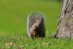 Just make a move, I dare you! (rjivani) Tags: park nikon squirrel waterloo nikkor 70300mm d90 f4556 tgamphotodeskcolour