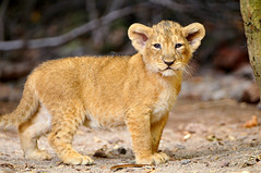 That's a cute little lion cub!